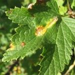 Хвороби і шкідники червоної смородини