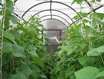 Вирощування огірків в теплиці. Особливості технології багатого врожаю