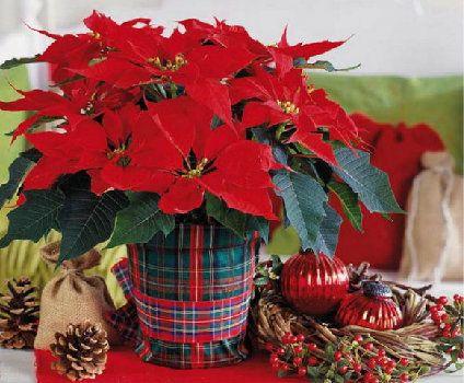 Квітучі взимку кімнатні рослини в червоно-білій гамі