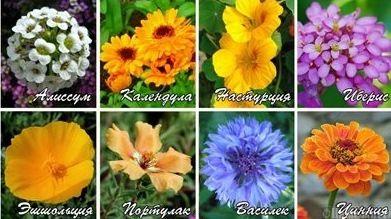 Квіти однорічні - правила вирощування і догляд