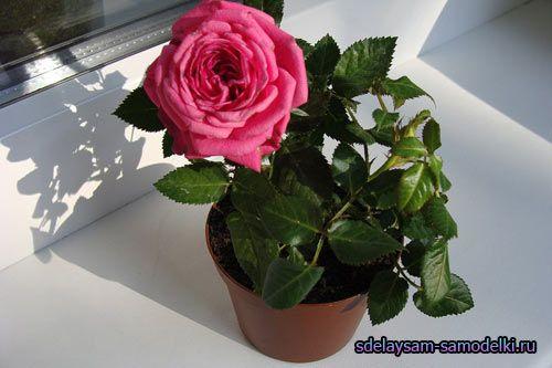 Запашні секрети красуні троянди