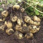 Голландська технологія вирощування картоплі