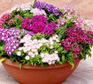 Яскраві і ароматні квіти в саду - флокси друммонда