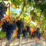 Умови вирощування винограду
