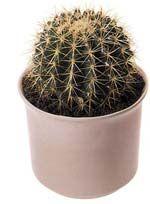 Як пересадити кактус