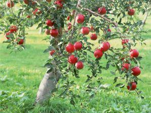 Які сорти дерев і чагарників вибрати для вирощування на дачі