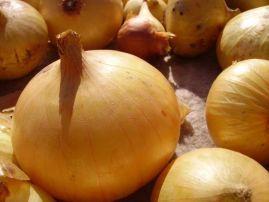 Які сорти цибулі вирощують з насіння?