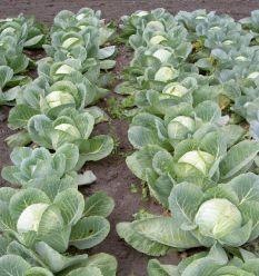 Які умови повинні бути для вирощування капусти