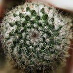 Кактус: таємниця цвітіння