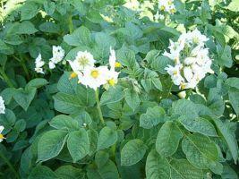 Картопля. Вирощування картоплі