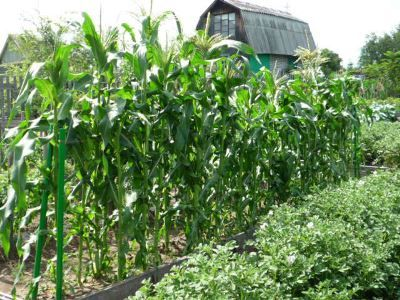 Кукурудза на дачі в підмосков`ї - особливості вирощування