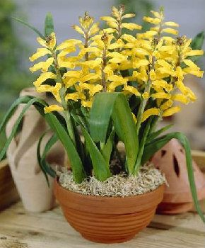 Лашеналія: особливості вирощування та догляду