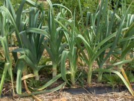 Зелена цибуля. Вирощування цибулі-порей