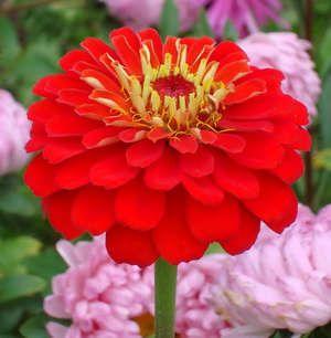 квітка цініі
