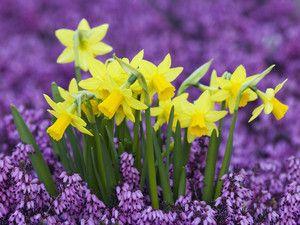 Нарциси в саду і вдома - весняна казка