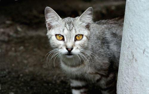 Не дивіться довго в очі кішкам