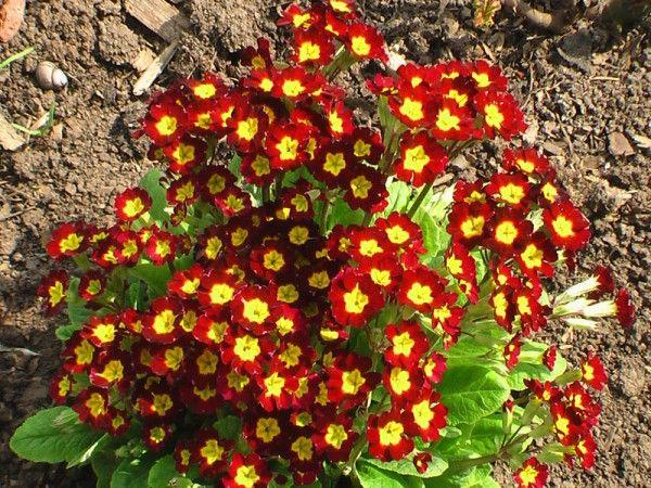 Низькорослі квіти для клумб