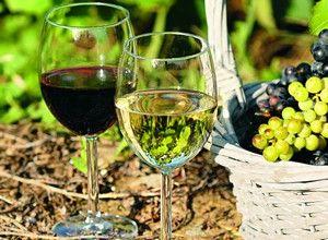 Огляд і особливості вирощування кращих винних сортів винограду