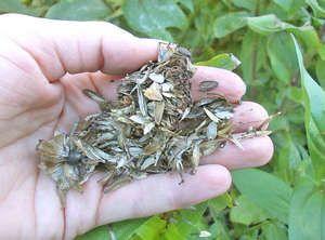 насіння цинії