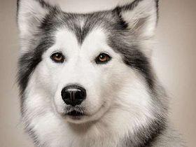 Статева поведінка собак