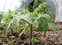 Посадка помідорів. Як правильно висаджувати розсаду помідорів
