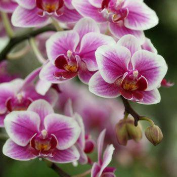 Правильний догляд за орхідеями в домашніх умовах