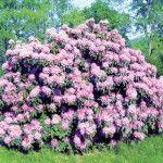 Рододендрон: особливості вирощування
