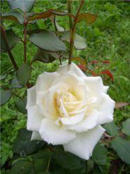 Троянди. Вирощування троянд