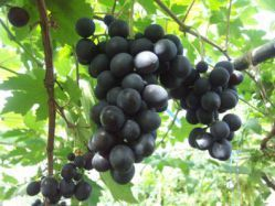 Садовий виноград