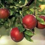 Садіть яблуні !!!