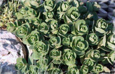 Седуми або квіти очитки в вашому саду