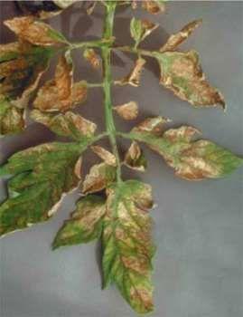Секрети багатого врожаю помідорів: попереджаємо жовтизну листя