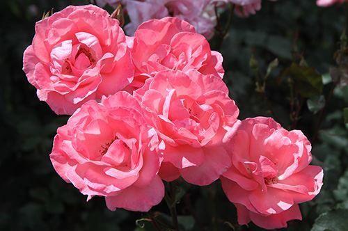 Секрети пишного цвітіння троянд