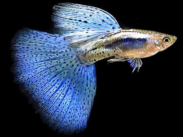 Рада з розведення акваріумних рибок гуппі.