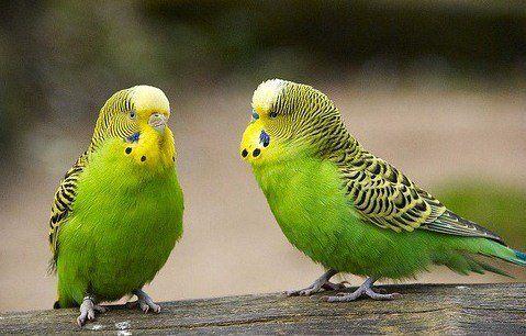 Поради по догляду за хвилястими папужками.