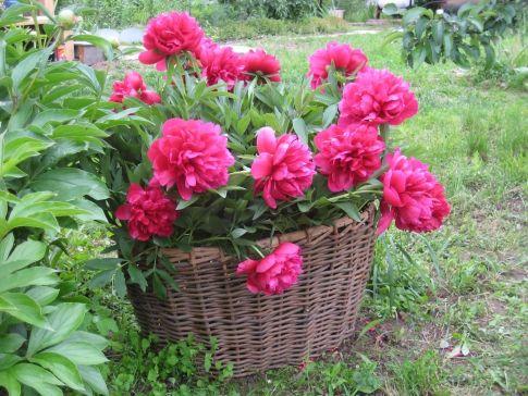 Поради з вирощування садових квітів