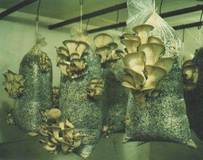 Технологія вирощування грибів гливи