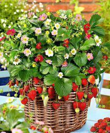 Добрива для суниці садової