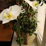 Догляд за кімнатними орхідеями