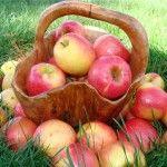 Умови зберігання яблук
