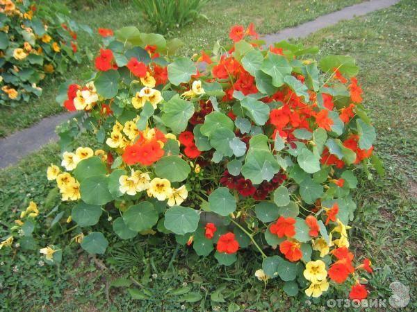 умови вирощування настурції