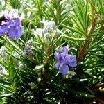 Вічнозелена і пряна рослина розмарин