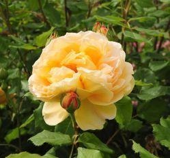 Види садових троянд