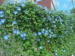 Кучеряві рослини для саду - створюємо красу і прохолоду