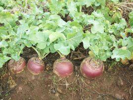 Вирощування брукви