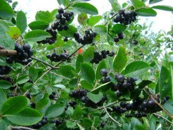 вирощування чорноплідної горобини