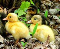 Вирощування домашніх качок