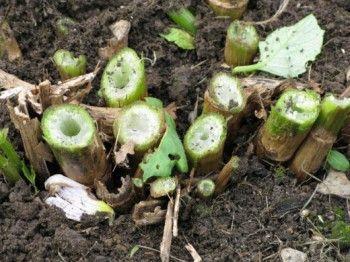 вирощування жоржин