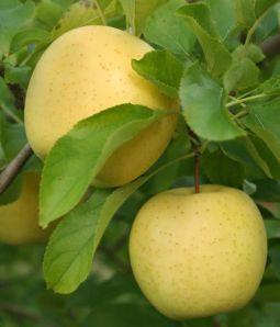 Вирощування яблунь