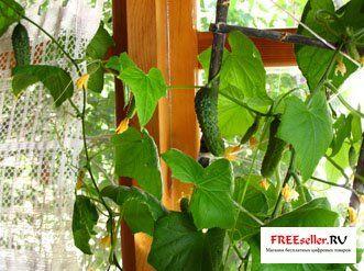 Вирощування огірків в квартирі